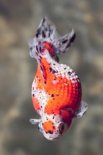 金魚の写真素材 [FYI00311386]