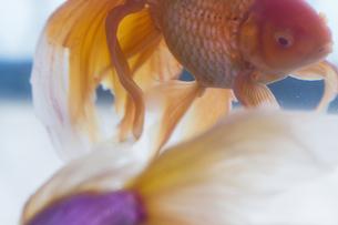 金魚の写真素材 [FYI00311399]
