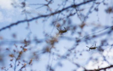 桜とヘリコプターの写真素材 [FYI00311436]