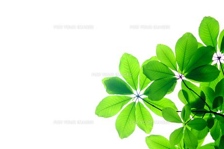 朴の木の若葉の素材 [FYI00311472]