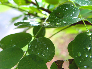 葉にのった雫の写真素材 [FYI00311473]