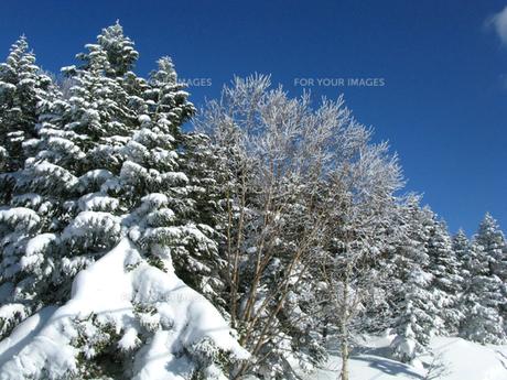 雪をかぶった木の写真素材 [FYI00311483]