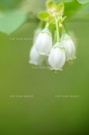 ブルーベリーの花の素材 [FYI00311489]