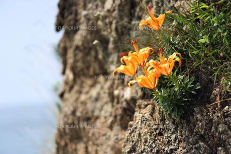 岩場に咲く岩ユリの素材 [FYI00311511]