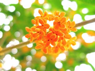 秋のにおい キンモクセイの花の写真素材 [FYI00311543]