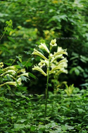 ウバユリの花の素材 [FYI00311597]