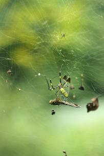 ジョロウグモの巣にトンボの写真素材 [FYI00311660]