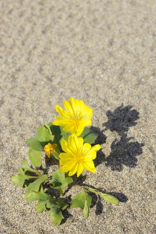 砂浜に咲くハマニガナ(ハマイチョウ)の素材 [FYI00311672]