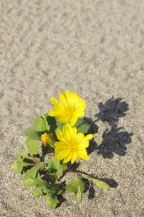 砂浜に咲くハマニガナ(ハマイチョウ)の写真素材 [FYI00311672]