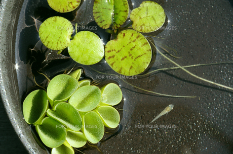 浮き草(ドワーフ・フロッグピット、サルビニア・ククラータ)と白めだかの写真素材 [FYI00311673]