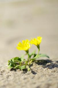 砂浜に咲くハマニガナ(ハマイチョウ)の写真素材 [FYI00311674]
