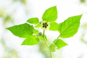 食用ホオズキの花の写真素材 [FYI00311755]