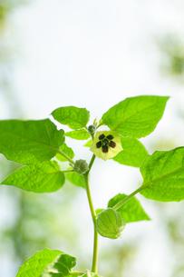 食用ホオズキの花の写真素材 [FYI00311757]