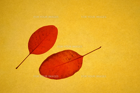 スモークツリー(ケムリノキ)の落ち葉 和紙の素材 [FYI00311771]