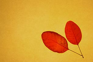 スモークツリー(ケムリノキ)の落ち葉 和紙の素材 [FYI00311782]