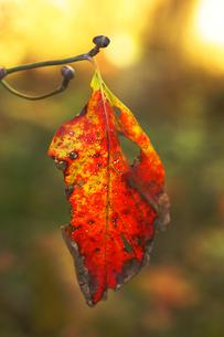 アメリカハナミズキ 紅葉と花芽の素材 [FYI00311787]