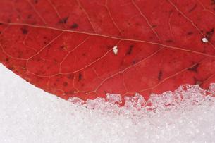 雪上に落葉 の素材 [FYI00311788]