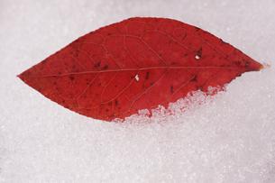 雪上に赤い落ち葉1枚の素材 [FYI00311805]