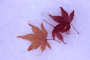 雪とモミジの素材 [FYI00311815]