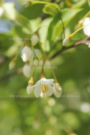 エゴノキの花の素材 [FYI00311840]