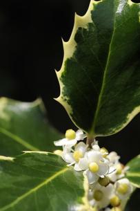 斑入りヒイラギの花の写真素材 [FYI00312001]