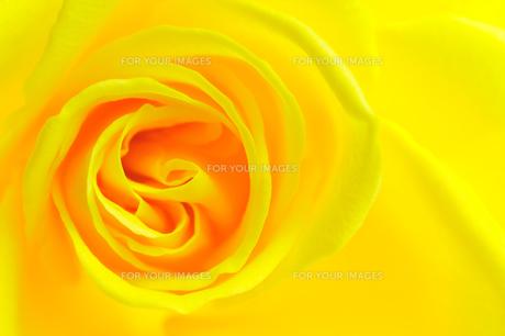 黄色 薔薇 アップの写真素材 [FYI00312295]
