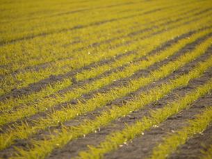 畑の新しい芽の写真素材 [FYI00312437]