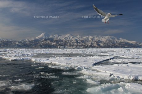 知床・知床連山と流氷とオオセグロカモメの写真素材 [FYI00312493]