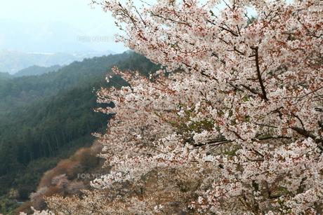 吉野山・上千本の山桜の素材 [FYI00312506]