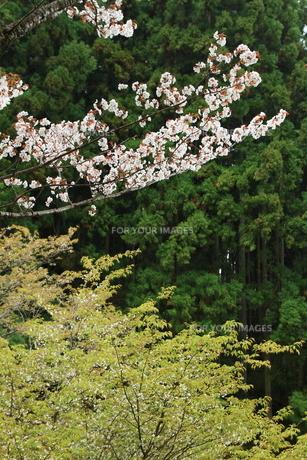 吉野山・色どりの春の素材 [FYI00312507]
