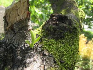 木の幹に出た新芽03の写真素材 [FYI00312516]