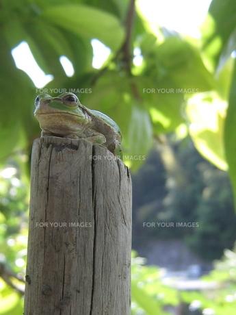 カエル02の写真素材 [FYI00312522]