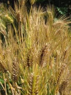 小麦畑の写真素材 [FYI00312527]