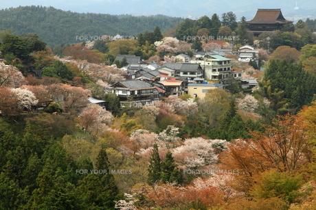 吉野山・上千本の山桜の素材 [FYI00312531]
