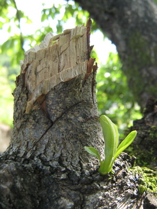 木の幹に出た新芽02の写真素材 [FYI00312532]