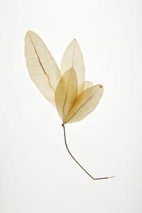 透過された葉っぱの素材 [FYI00312546]