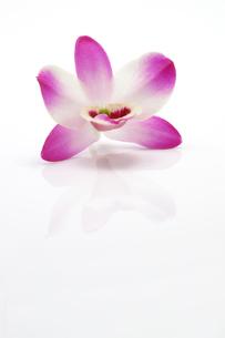 一輪の蘭の写真素材 [FYI00312551]