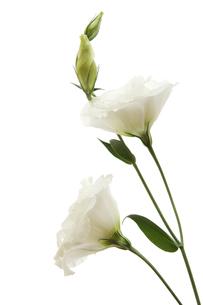 白い花ートルコキキョウの写真素材 [FYI00312604]
