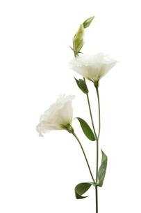 白い花ートルコキキョウの写真素材 [FYI00312615]
