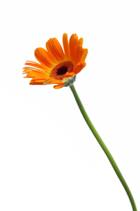オレンジ色のガーベラの写真素材 [FYI00312646]