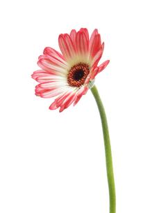 ピンクと白のガーベラの写真素材 [FYI00312655]