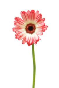 ピンクと白のガーベラの写真素材 [FYI00312657]