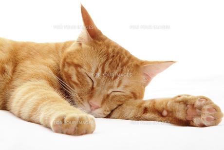 眠る猫の写真素材 [FYI00312766]