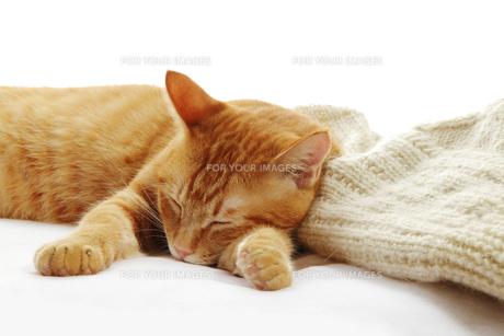ネコとセーターの写真素材 [FYI00312781]