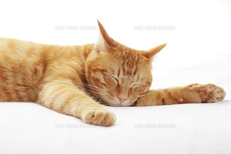 眠る猫の写真素材 [FYI00312796]
