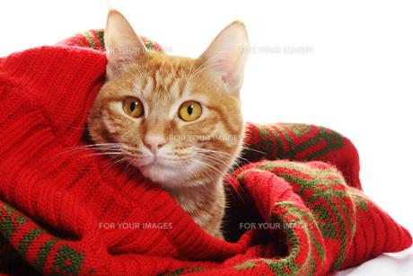 ネコとセーターの写真素材 [FYI00312807]