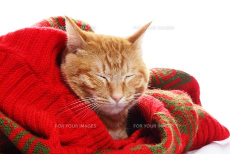 ネコとセーターの写真素材 [FYI00312811]
