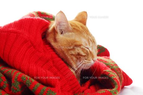 ネコとセーターの写真素材 [FYI00312812]