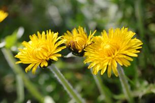 タンポポの花の写真素材 [FYI00312961]