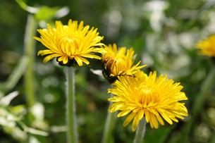 タンポポの花の写真素材 [FYI00312967]